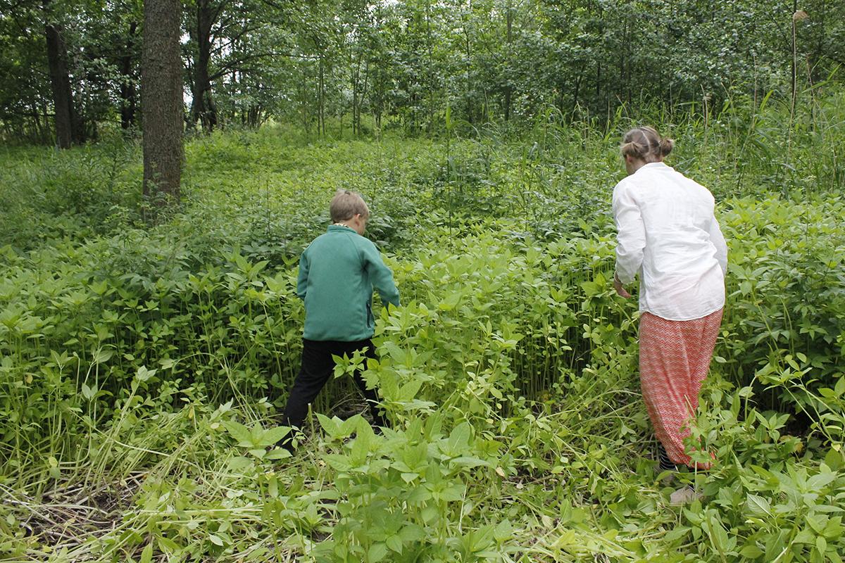 Aikuinen ja lapsi keräävät jättipalsamia